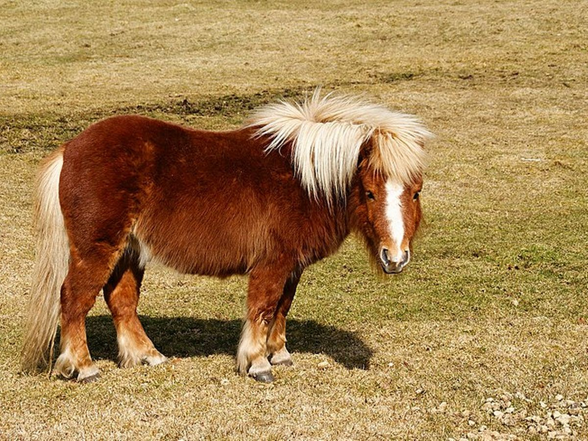 0_800px-Shetland_pony_-_Postbridge